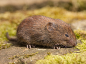 Vole Exterminator | Structural Pest Management